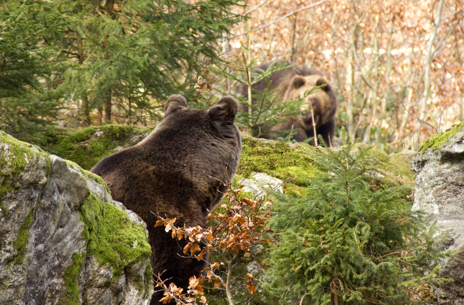 Bear Watching Tour Slovakia Without Hides Friendly Way To